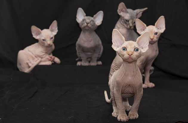 sphynx katt allergi